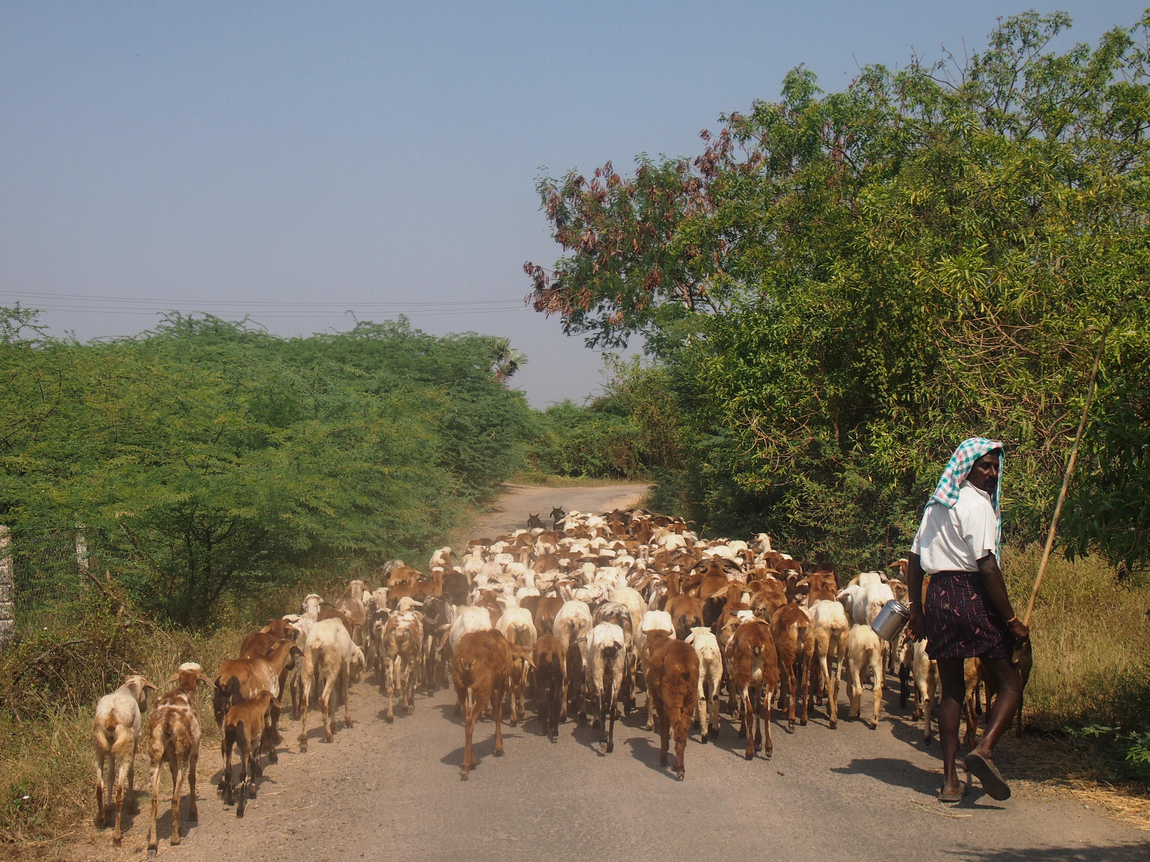 På vissa platser är terrängen oframkomlig vilket tvingar herdarna att gå längs vägar. Foto Patrick Wennström.