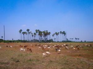 Stora öppna gräsmarker som dessa blir allt mer ovanliga i södra Tamil Nadu. Foto Patrick Wennström.