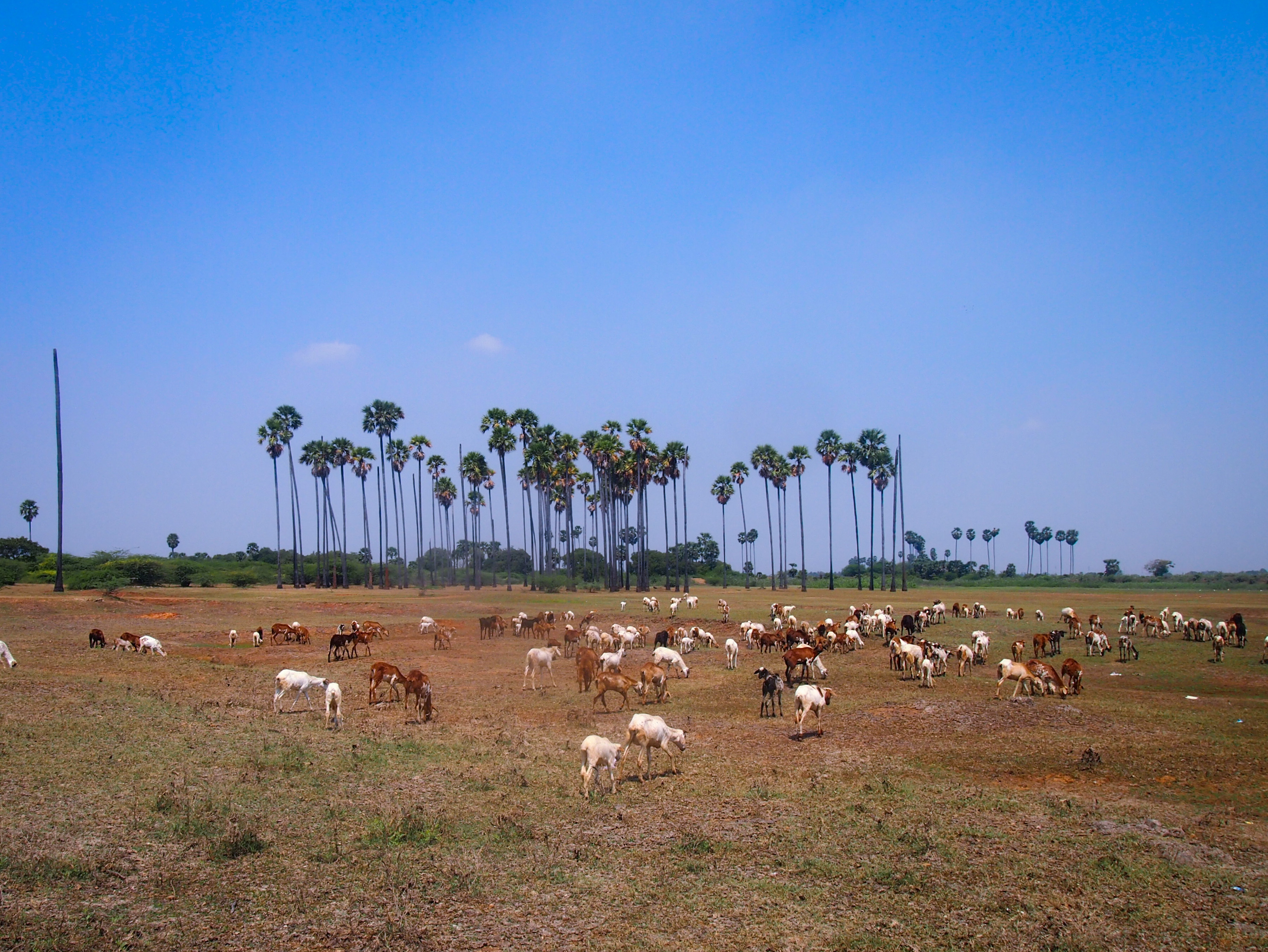Stora öppna gräsmarker som dessa blir allt mer ovanliga i södra Tamil Nadu.