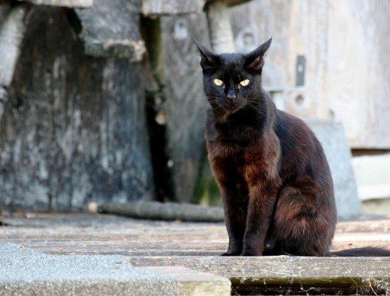 Svarta katter och talet 13 känns lite halvtråkigt när man jämför med vårt exotiska urval av lokala dåliga omen! Image credit articlecats.com