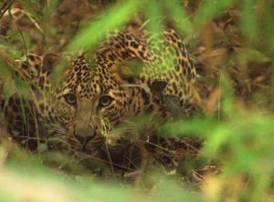 indian leopard makes occassional visits to the city