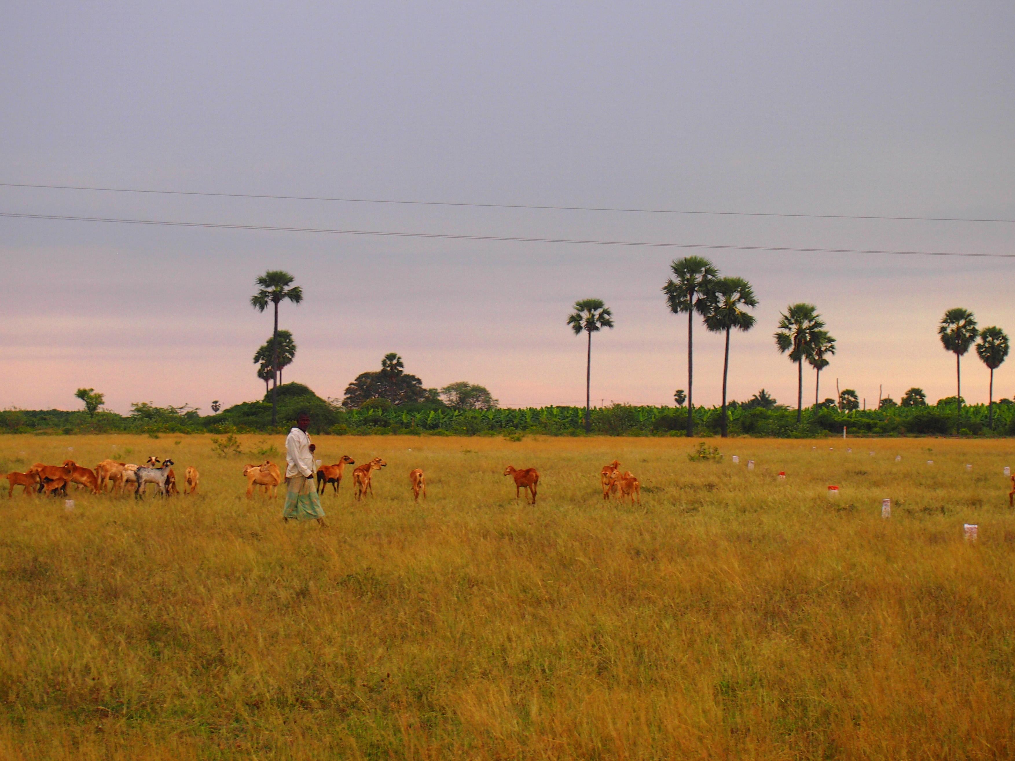 Gräsmarker till salu. En herde vandrar med sina får över ett område som ska styckas upp och säljas, villket de vita och röda markeringarna i gräset till höger i bild indikerar. Foto; Patrick Wennström