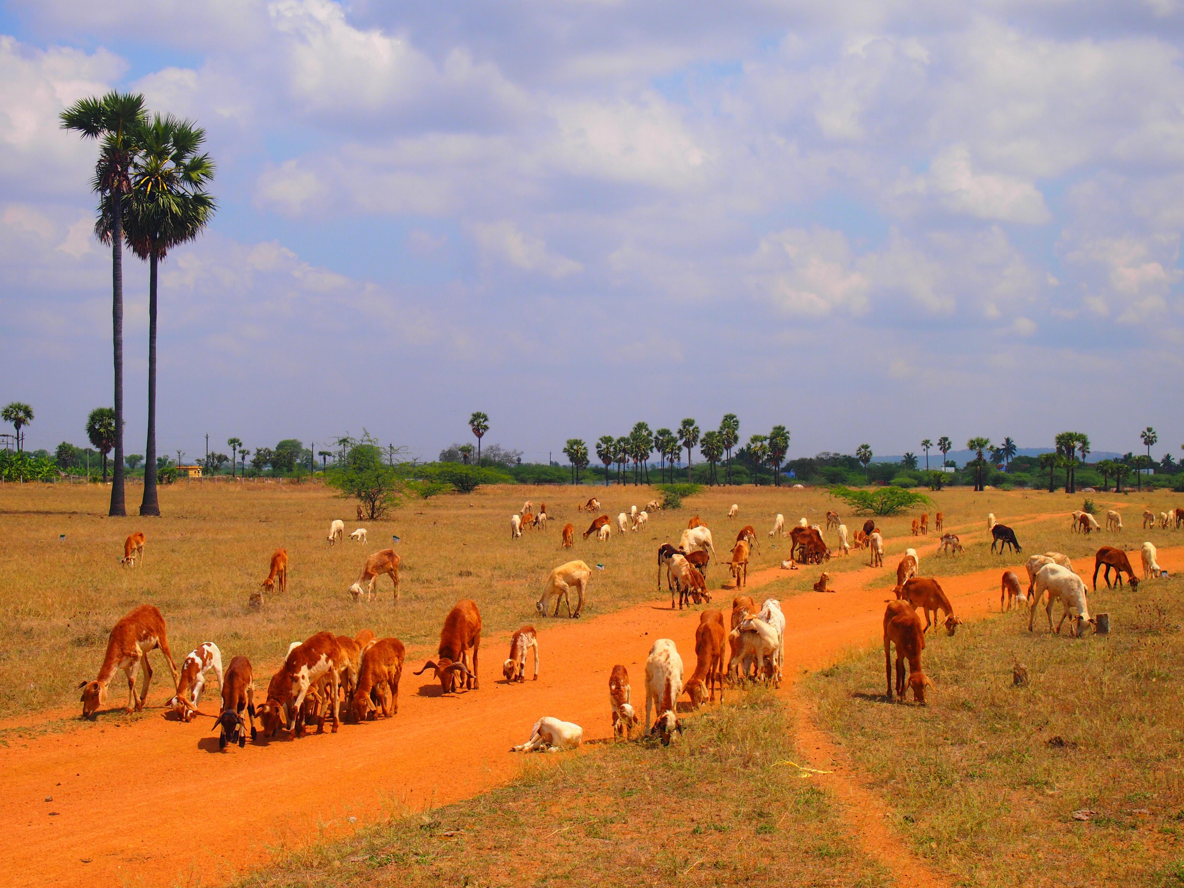 Får som betar på en av få skyddade betesmarker i södra Tamil Nadu. Marken tillhör ett stort tempel och är därför relativt skyddad från framtida exploatering. Foto; Patrick Wennström