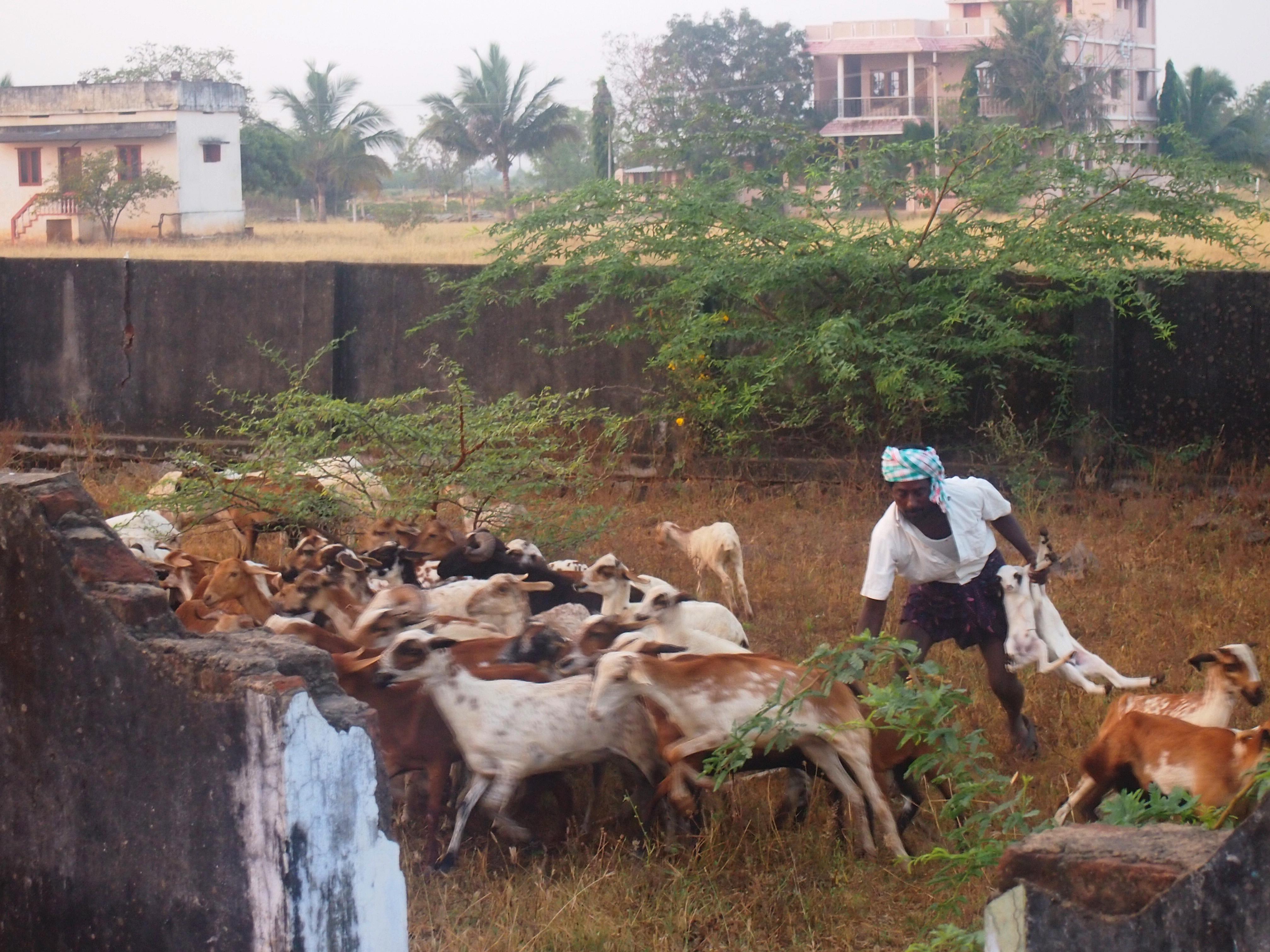 Lammen som är för små för att vandra långa sträckor plockas ur flocken och körs i förväg till nästa lägerplats.Foto; Patrick Wennström