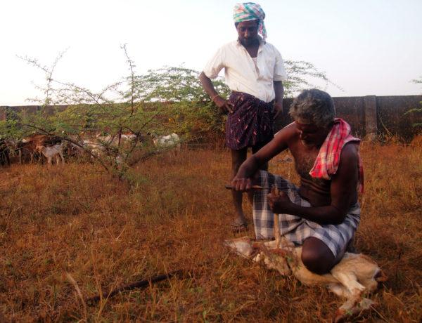 Herdar i Tamil Nadu. Foto; Patrick Wennström