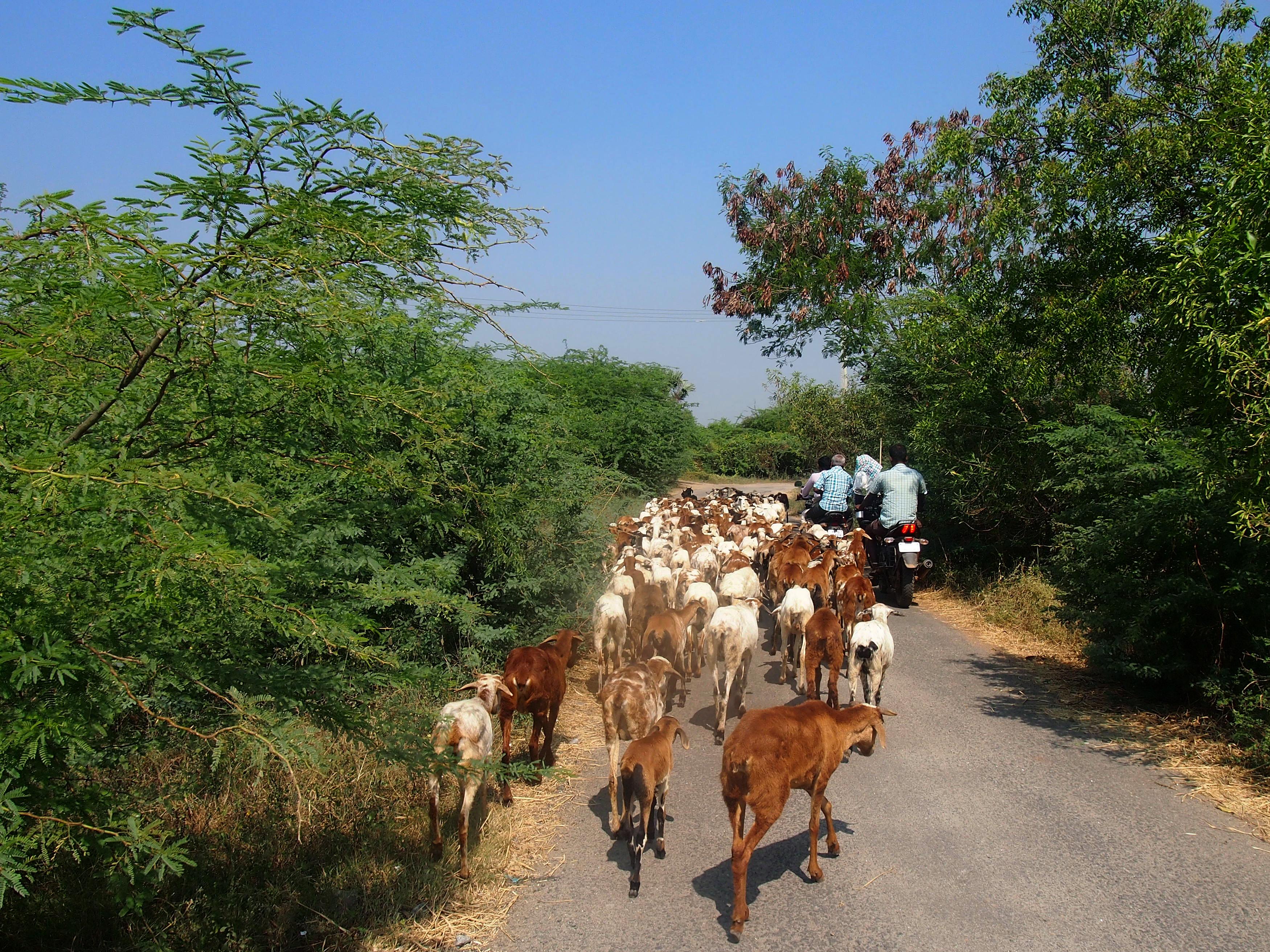 Den invasiva växtarten prosopis gör ofta terrängen oframkomlig vilket tvingar herdarna att gå längs vägar och samsas med trafiken. Foto; Patrick Wennström