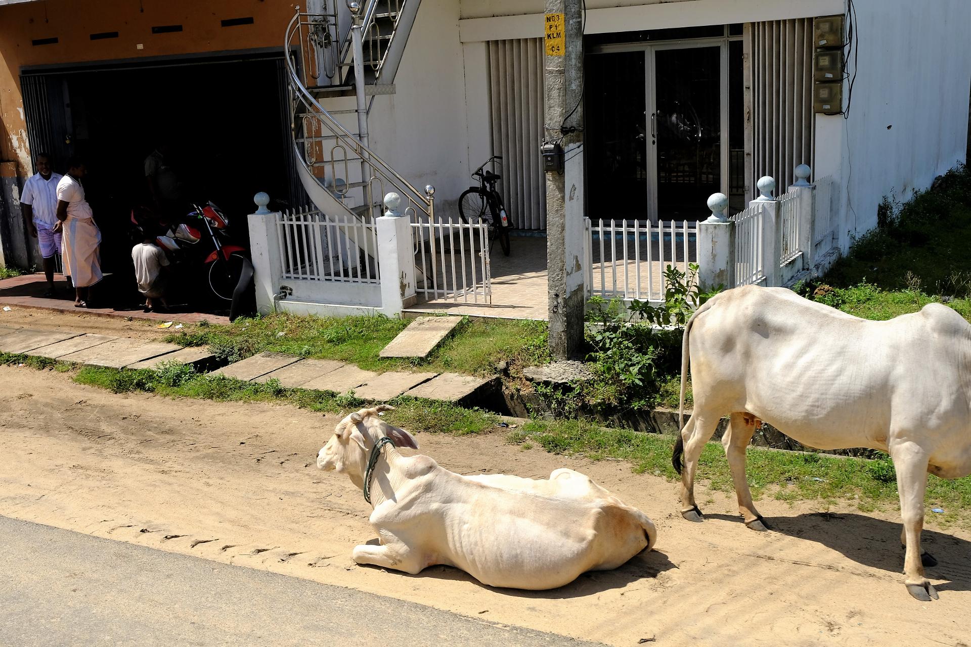 Många kor förefaller leva helt självständiga liv. Foto: Johan Mikaelsson