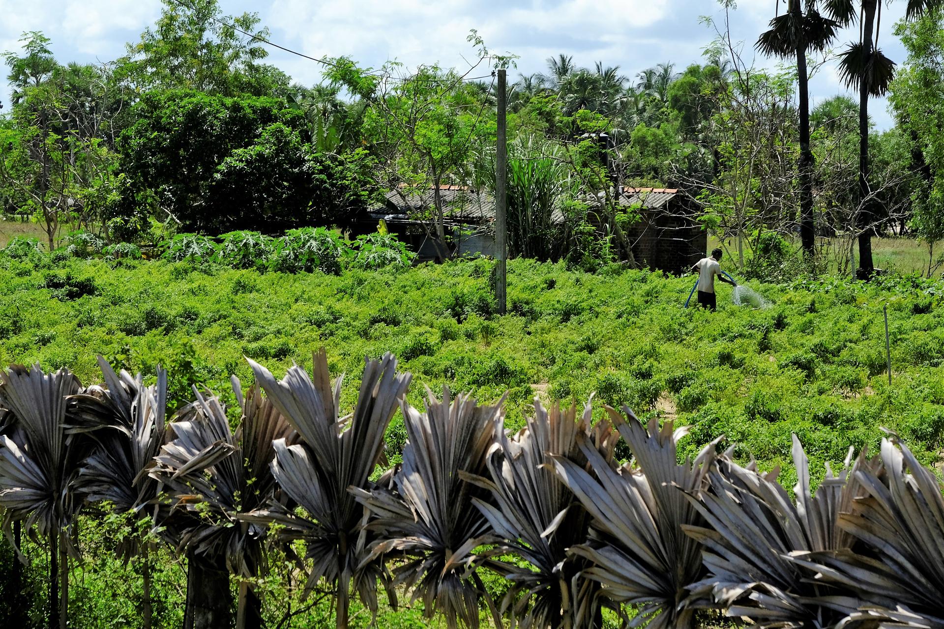 Odlingen, skyddad med palmblad mot vägen, besprutas för att hålla skadeinsekter borta. Foto: Johan Mikaelsson