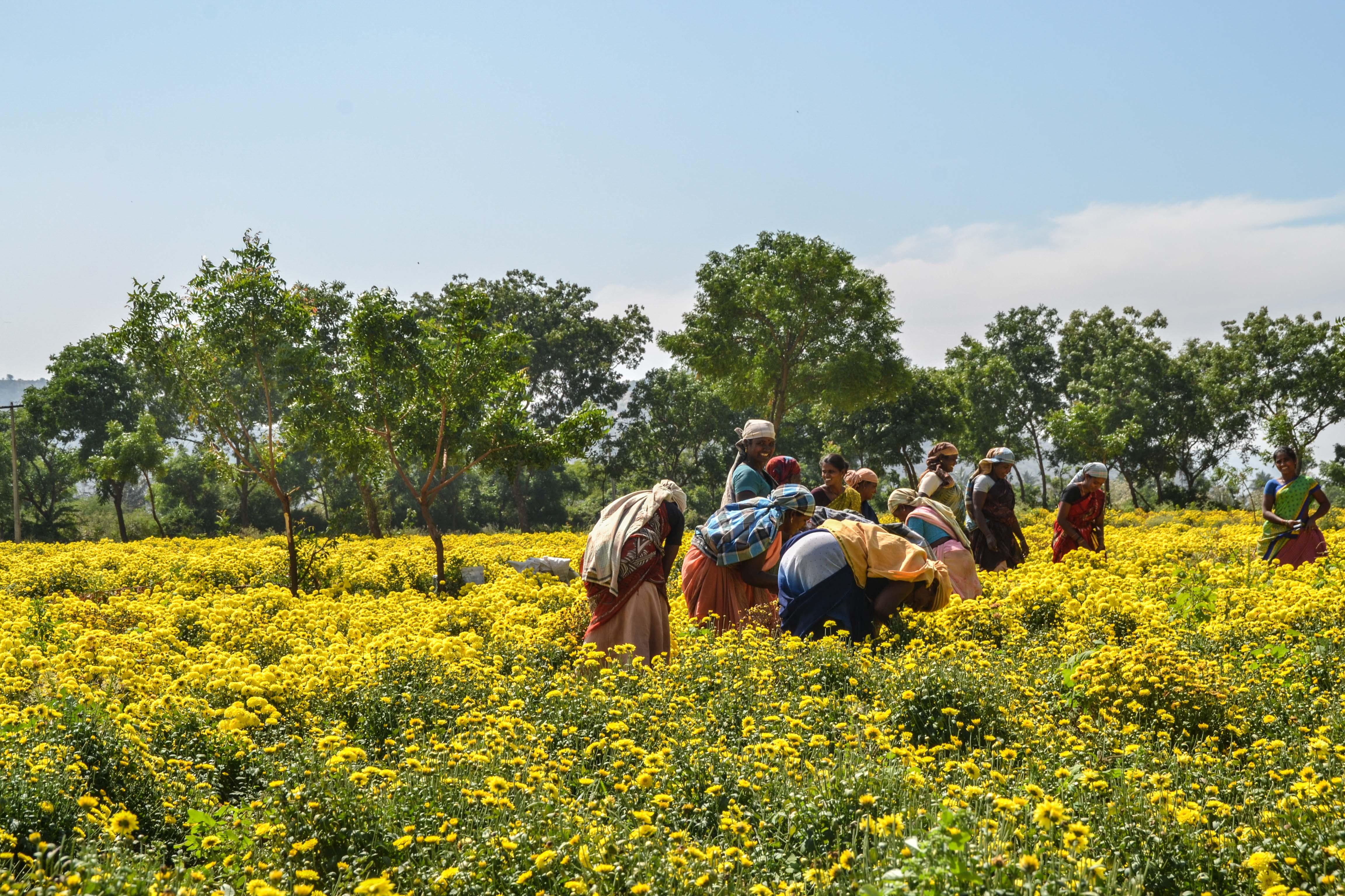Blommorna konstbevattnas för att sedan skördas och säljas på marknaden i Nilakottai. Foto: Josefin Aldegren