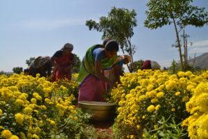 Kvinnorna skördar blomman krysantemum. Normalt plockar en arbetare på fältet runt 20 kg blommor per dag. (Pandeeswari längst fram). Foto: Josefin Aldegren