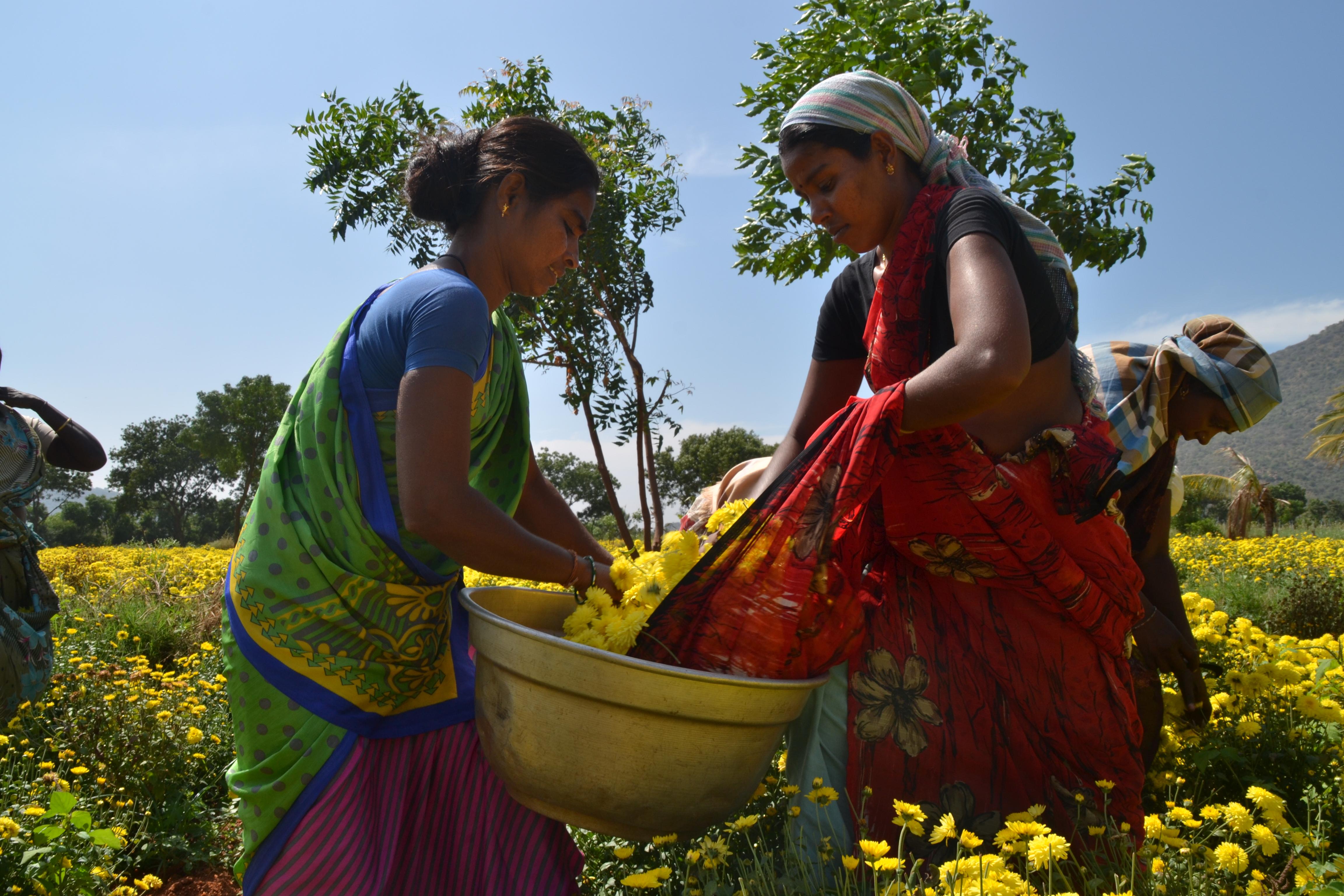 Pandeeswari och Senthamarai skördar blomman krysantemum. Normalt plockar en arbetare på fältet runt 20 kg blommor per dag. Foto: Josefin Aldegren