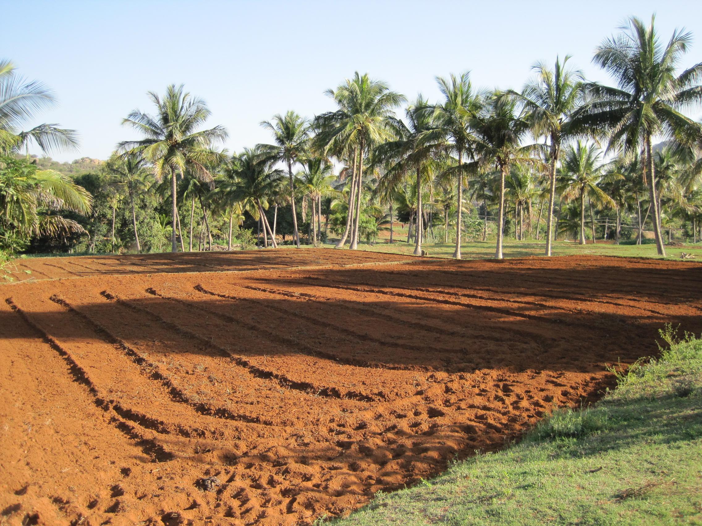 Ett fält på en gård i Dharmapuri där de endast odlar med ekologiska metoder.