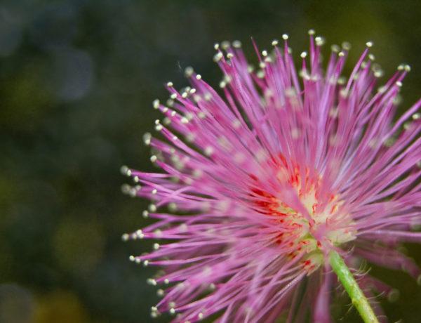 I Sri Lanka blommar Mimosa Pudica. Bild från Flickr Maximilian Imran Faleel