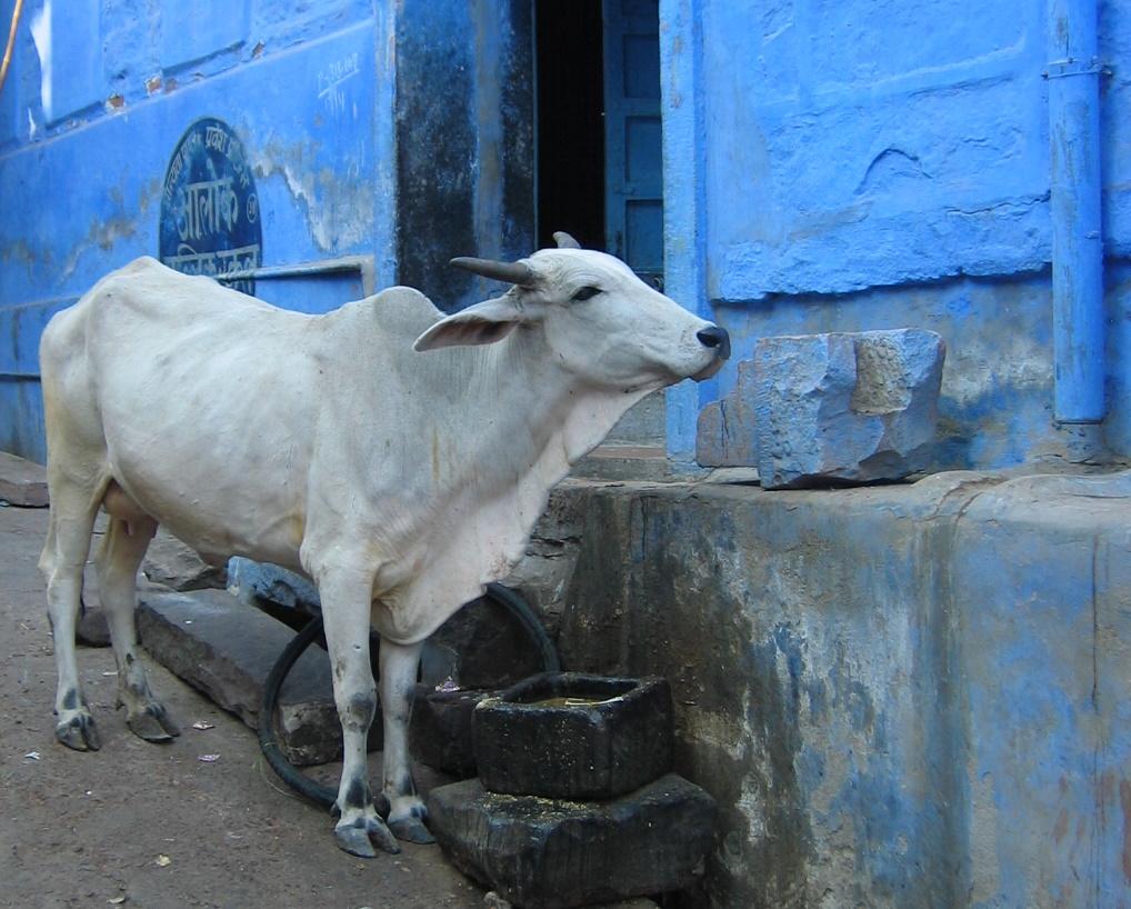 En ko i Indien