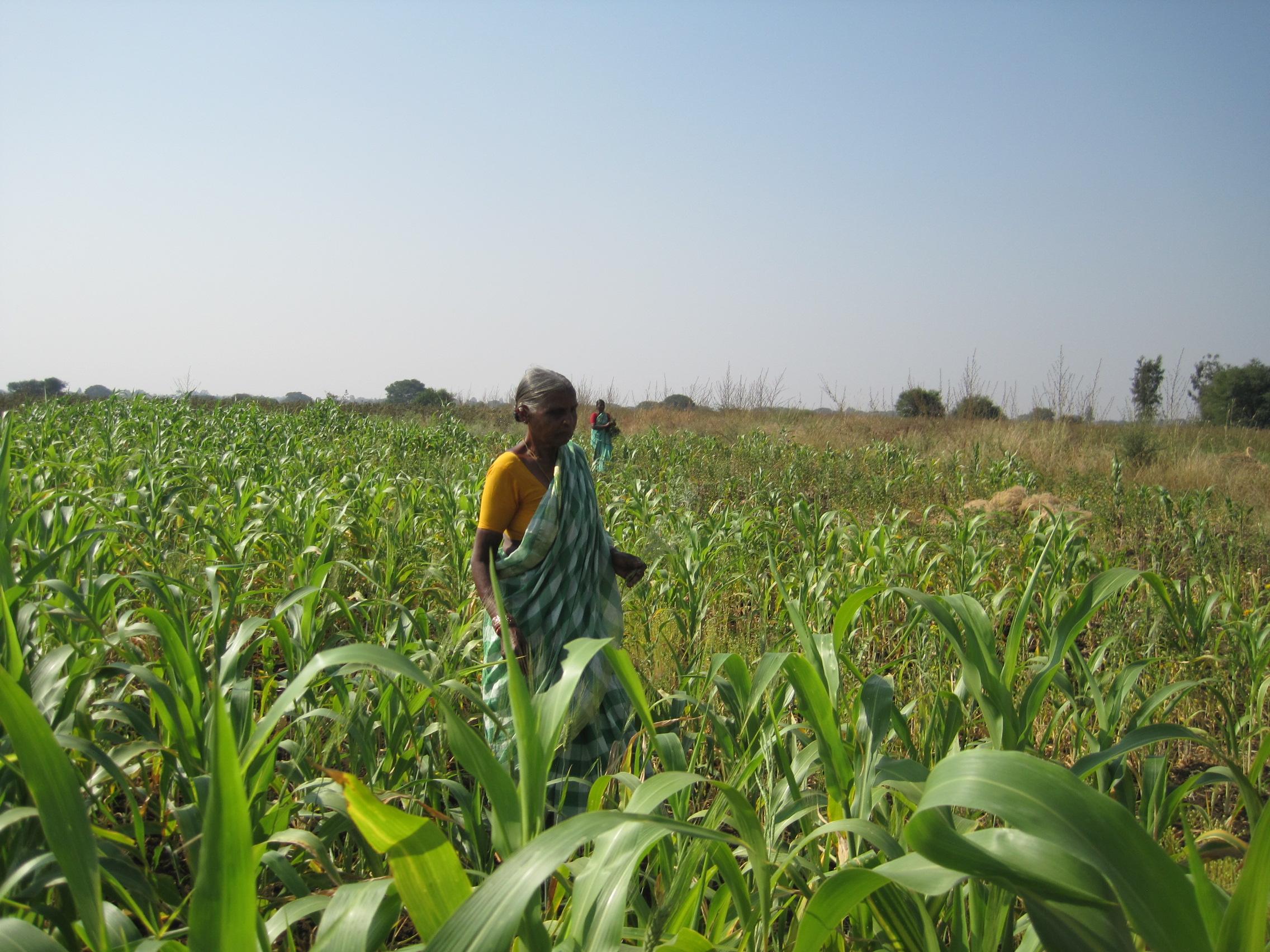 Chandramma på ett av sina milletsfält i hemby Bidakanne. Foto: Kristina Johansson
