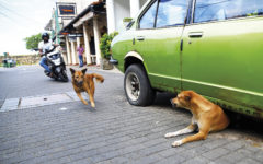 Galle Fort Street Dogs