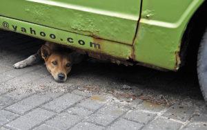 Galle Street Dog